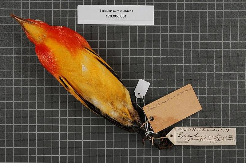 File:Naturalis Biodiversity Center - RMNH.AVES.143263 2 - Sericulus aureus ardens (D'Albertis & Salvadori, 1879) - Ptilonorhynchidae - bird skin specimen.jpeg