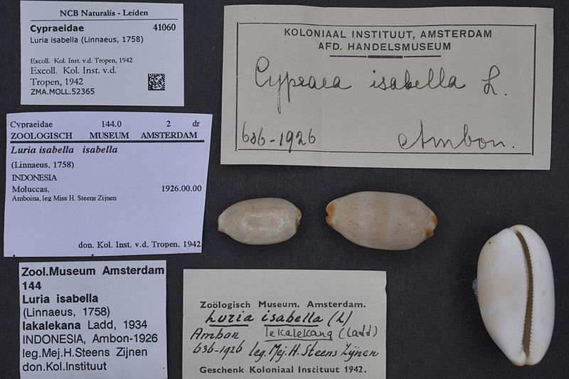 File:Naturalis Biodiversity Center - ZMA.MOLL.52365 - Luria isabella (Linnaeus, 1758) - Cypraeidae - Mollusc shell.jpeg