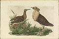 Nederlandsche vogelen (KB) - Philomachus pugnax (028b).jpg