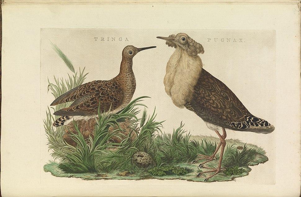 Nederlandsche vogelen (KB) - Philomachus pugnax (028b)