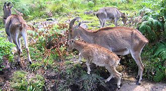 Nilgiri tahr - Nilgiri tahr family in mountain grasslands.