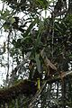 Nepenthes papuana climbing plant.jpg