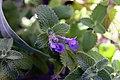 Nepeta racemosa Little Titch 4zz.jpg