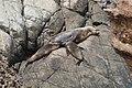 New Zealand sea lions.jpg