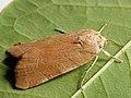 Noctua fimbriata - Broad-bordered yellow underwing - Земляная совка каёмчатая (41089361991).jpg