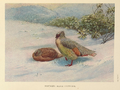 Northern Blood Partridge by George Edward Lodge.png
