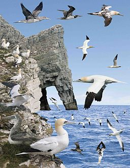 Northern Gannet from the Crossley ID Guide Britain and Ireland
