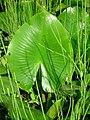 Nuphar lutea leaf.JPG