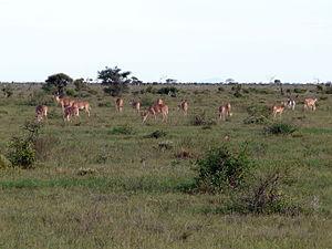 Hirola - Nursery herd, Tsavo East National Park, 2011. (Copyright James Probert)