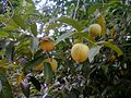 Nutmeg Trees in Kerala,India - panoramio.jpg