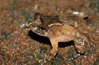 <i>Nyctibatrachus minor</i> species of amphibian