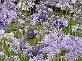 """O Agapanto (Agapanthus africanus) é um lírio. Seu nome deriva do grego e significa """"flôr do amor"""". Esta planta originária de terras sul-africanas dá bêlas flores azuis em forma de buquê que podem se - panoramio.jpg"""