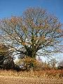 Oak growing on field boundary - geograph.org.uk - 1050340.jpg