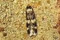 Oegoconia cf. quadripuncta (FG) (36798571783).jpg