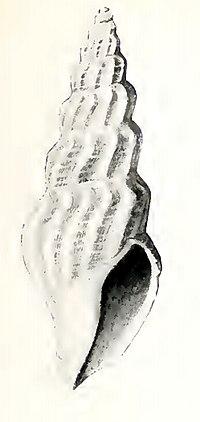 Oenopota eriopis 001.jpg