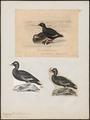 Oidemia fusca - 1700-1880 - Print - Iconographia Zoologica - Special Collections University of Amsterdam - UBA01 IZ17700153.tif