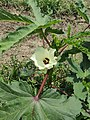 Okra or Lady Finger flower (বাংলা- ঢ্যাঁড়শ) ; scientific name- Abelmoschus esculentus.jpg