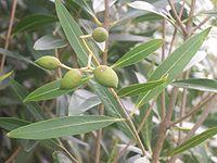 Olea lancea fruit