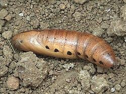 Sphingidae Wikipedia La Enciclopedia Libre