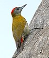 Olive Woodpecker, Sakania, DRC (12404103034), crop.jpg