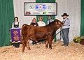 Open Show Grand Champion Simmental Bull (45141242651).jpg