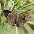 Open wing of Tagiades japetus (Common Snow Flat) butterfly.jpg