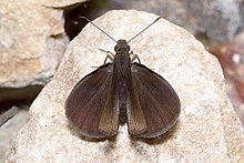 Open wing position of Ancistroides nigrita Chocolate Demon March 2016 Jayanti BTR (3).jpg