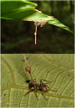 Ophiocordyceps unilateralis.png