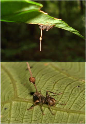 The *O. unilateralis* fungus extending soma stalks and fruting heads from the bodies of dead ants
