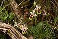 Ophrys tenthredinifera (trebol-a).jpg