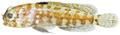Opistognathus whitehursti - pone.0010676.g066.png