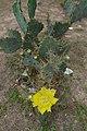 Opuntia ficus-indica - Tajpur - East Midnapore 2015-05-02 9155.JPG