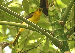 Orange-crowned Oriole f2.jpg