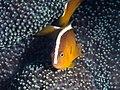 Orange skunk clownfish (Amphiprion sandaracinos) (31973195060).jpg