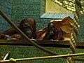 Orangutan-01-ZOO.Dvur.Kralove.jpg