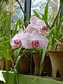 Orchidées-Jardin botanique de Peradeniya-Sri Lanka (2).jpg