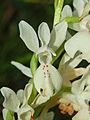 Orchidaceae - Orchis provincialis-3.JPG