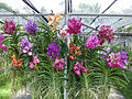 Orchids in Thailand 2013 2769.jpg