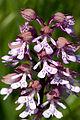 Orchis.militaris.x.Orchis.purpurea.8222.jpg