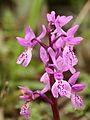 Orchis mascula 049.JPG