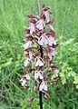Orchis purpurea kz02.jpg