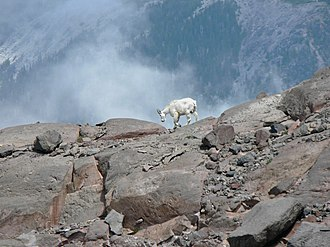 Mountain goat - In the Cascade Range, Mount Rainier National Park, near the southwestern limit of their distribution.