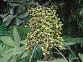 Oreopanax floribundum 2.JPG