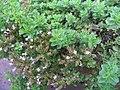 Origanum vulgare Humile 0zz.jpg