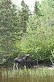 Original dans la forêt du Saguenay Lac Saint-Jean.jpg