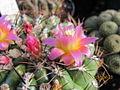 Oroya peruviana (4508581520).jpg