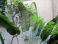Orto botanico, fi, ravenala madagascariensis (palma del viaggiatore) 2.JPG