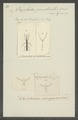 Orychodes - Print - Iconographia Zoologica - Special Collections University of Amsterdam - UBAINV0274 031 02 0007.tif