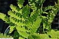 Osmunda claytoniana 6zz.jpg