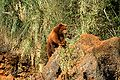 Oso - Ursus arctos - Cabárceno 1.JPG